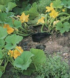 Sunken+watering+pots+and+an+understory+of+vetch+keep+zucchini,+crookneck+squash+and+pattypan+going+strong.