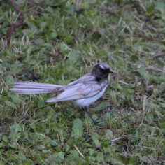 #Rare white willie wagtail survives odds to grace Mount Lawley backyards - ABC Online: ABC Online Rare white willie wagtail survives odds…