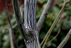 "Acer tegmentosum ""Joe Witt"" has the common name Manchurian snakebark maple. (Alan Berner/The Seattle Times)"