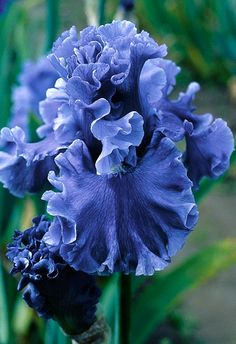 ~~Sea Power Tall Bearded Iris | Sea Power's incredibly surging bubble ruffling and its deep cornflower blue color is a stand out in the garden. This child of Yaquina Blue X Jazz Me Blue probably has the most lavish ruffled flower form of any blue Iris Plus it has pronounced sweet fragrance.