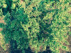 Murt (Mersin) ağacının bereketine hayran kalmamak elde değil. Yapraktan çok meyveleri var