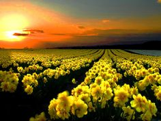 Yellow Flowers at Sunset.