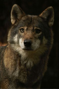 """wolveswolves: """" European wolf (Canis lupus lupus) by wolveswolves """""""
