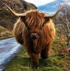 Scottish highland cow  x