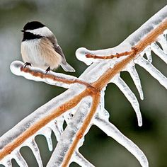 Canada's  Prince Edward Island...year around haven for birds...black-capped chickadee