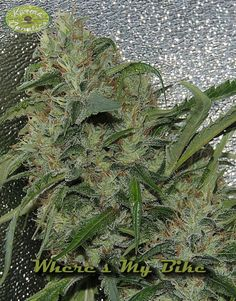 Where's my Bike Regular Seeds by the cannabis breeder Karma Genetics, is a Photoperiod Regular marijuana strain.This Mostly Sativa strain produces a High High yield. These seeds germinate in 9-11 weeks in October-November.This Regular seed grows well in Greenhouse, Indoors, Outdoors conditions. Additionally it can be expected to grow into a Tall plant reaching 170 cm.This strain has Amnesia (Dcut) X Biker Kush Genetics.