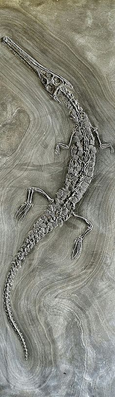 Steneosaurus bollensis - Steneosaurusis anextinctgenusofteleosauridcrocodyliform from theEarly JurassictoMiddle Jurassic(ToarciantoCallovian). Fossil specimens have been found inEngland,France,Germany,SwitzerlandandMorocco. The largest species,S. heberti, reached up to 5 m (16.5 ft) long, though 2.5–3.5 m was far more common Species in this genus are traditionally classed into two skull groups: longirostrine (long, narrow jaws) and brevirostrine (short, broad jaws)