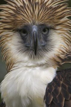 The Philippine eagle (Pithecophaga jefferyi), a. the monkey-eating eagle, lives in the forests of the Philippines. The world's largest eagle, it's labeled as critically endangered (IUCN Red List). (by Klaus Nigge) All Birds, Little Birds, Birds Of Prey, Pretty Birds, Beautiful Birds, Animals Beautiful, Rapace Diurne, Philippine Eagle, Baby Animals