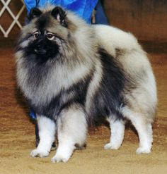 Keeshonden & pomeranians are my favorite dogs
