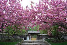 Kariya Park - Cherry Blossoms in Mississauga