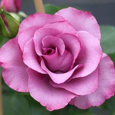 Dioressence™ Floribunda Rose. Beautiful color, strong sweet fragrance, very feminine...