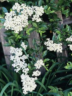 Privet: Nice shrub with fragrant flowers and dark berries. Trim twice a year. Three or four are planted next to the bathroom window.