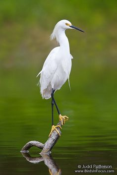 Snowy Egret by Judd Patterson, via Flickr