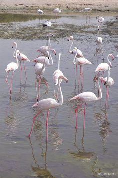 Dubai: The flamingos at Ras Al Khor Wildlife Sanctuary - Dubai Guide - Dubai Blog | Mitzie Mee