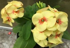 Crown Of Thorns Plant, Euphorbia Milii, Succulents, Bloom, Leaves, Flowers, Green, Ideas, Decor