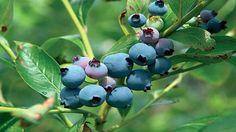 Blueberry growing
