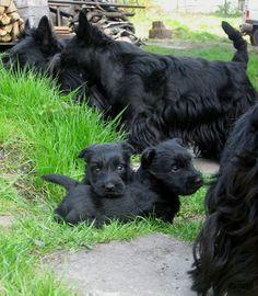 Scottish terrier | Scottish Terrier: