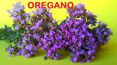 Recoleccion del oregano origanum vulgari Drying Oregano hierbas aromaric...