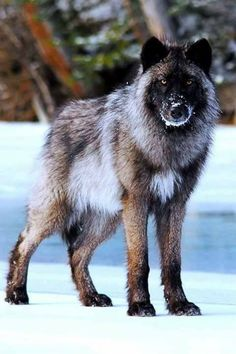 What a lovely fur coat Mr. Wolf.