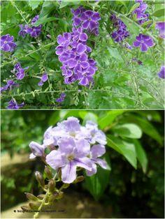Kata Mehedi - Golden Dew Drop, Sky Flower, Pigeon Berry 'Sapphire Showers'- Duranta Repens