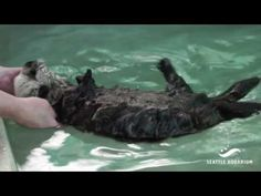 Sea otter pup Rialto has a swimming lesson - September 6, 2016 -  From today's Daily Otter post: http://dailyotter.org/2016/09/06/sea-otter-pup-rialto-has-a-swimming-lesson/