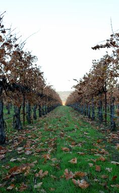 We have leaf drop! That means the nightly temperatures have dropped well below 30° F for several days & the vines are now dormant. The vibrant colors that graced our vineyard have faded. The longest job of the vineyard – pruning each vine – has now begun and will continue until February.