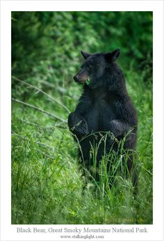 Per the artist:  The bear was feeding along side of the loop in Cades Cove when he ended up the object of a bear jam and was pretty much surrounded. He stood up, probably to see if there was a way out, and finally just darted across the road and into the woods, going through the crowd of people on foot and in their cars.