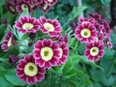 JURA - GARTEN: Impessionen vom Garten Aurikel