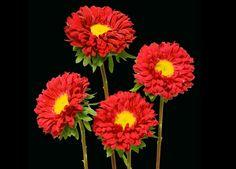 Matsumoto Red Aster Wholesale Bulk Fresh Flowers