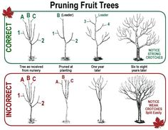 and The Wrong Way & When To Prune Fruit Trees.The Right and The Wrong Way & When To Prune Fruit Trees.Right and The Wrong Way & When To Prune Fruit Trees.The Right and The Wrong Way & When To Prune Fruit Trees. Prune Fruit, Pruning Fruit Trees, Grafting Fruit Trees, Dwarf Fruit Trees, How To Prune Trees, Apple Tree Pruning, Pruning Plants, Bonsai Pruning, Fruit Bushes