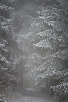 Snow in an evergreen forest.