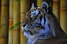 Bengal Tiger  Fractalius