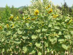 Orto Davide: Girasoli  .........................Sunflowers