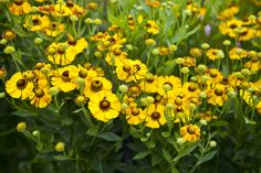 Helenium is also called sneezeweed. You can find it sticking up through the sidewalk cracks or on the roadside. It is small but mighty and therefore beautiful.