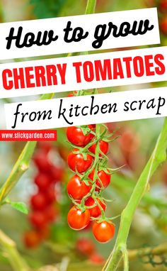 How To Grow Cherry Tomatoes From Kitchen Scrap - Cherry Tomatoes in Containers. Here are easy steps to grow cherry tomatoes from tomatoes slices in your kitchen garden. Growing Cherry Tomatoes, Growing Grapes, Growing Plants, Growing Tomatoes In Containers, Grow Tomatoes, Growing Seeds, Cherry Tomato Plant, Tomato Plants, Container Gardening