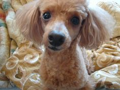 "toy poodle ""Chewie"""