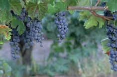 Picture grape jelly, grape juice or fresh grapes all from your own yard. You can start your own grapevine with cuttings taken from an established, dormant plant