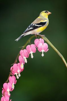 "justbelieve2him: ""American Goldfinch… """
