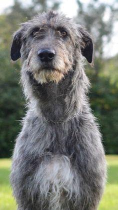 Arklow the Irish Wolfhound Big Dogs, Cute Dogs, Dogs And Puppies, Funny Dogs, Doggies, Irish Wolfhound Puppies, Irish Wolfhounds, Unique Dog Breeds, Scottish Deerhound