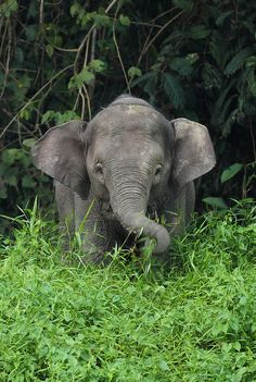 Young Borneo Pygmy Elephant by Daniel Trim        <3
