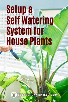 Do you know how to setup an automatic indoor plant watering system to water your houseplants? You can even build your own drip irrigation system to water indoor house plants. There are different automatic watering systems for houseplants. We will guide you on how to water your houseplant or succulents. Also, learn how to water plants while on vacation tips. #WaterHouseplants #AutomaticWatering #Succulents #Plants #Houseplant #IndoorGarden #Gardening #UrbanOrganicYield Garden Watering System, Self Watering Planter, Water Plants, Water Garden, Indoor Garden, Indoor Plants, Automatic Watering System, Drip Irrigation System, Diy Planters