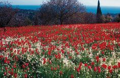 tulips spring in Chios island Greece Rare Flowers, Beautiful Flowers, Mastic Tree, Chios Greece, Greece Islands, The Locals, Tulips, Fields, Greek