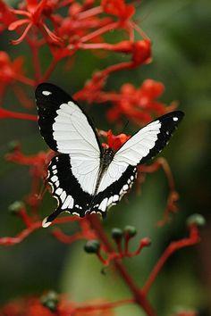 Butterfly Kisses, Butterfly Flowers, Butterfly Wings, White Butterfly, Red Flowers, Butterfly Video, Butterfly Images, Butterfly Tattoos, Butterfly Painting