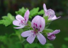 """Citronella Plant - This natural mosquito repellent is a great gift idea! The """"mosquito plant"""" heavenly scented geranium has citronella oil that repels mosquitoes. Geranium Plant, Scented Geranium, Beautiful Gardens, Beautiful Flowers, Beautiful Gorgeous, Citronella Plant, Natural Mosquito Repellant, Mosquito Repelling Plants, Malva"""