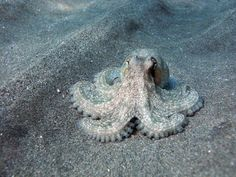 10 Fun Octopus Facts: Octopuses Have Short Life Expectancies