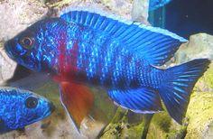 Google Image Result for http://www.aquariumlife.net/profile-images/peacock.jpg