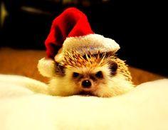 Pet Hedgehog   Pet's Name: Pringles Breed of Pet: African Pygmy Hedgehog
