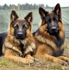 #German #Shepherds.
