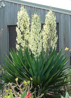 Yucca - State flower of New Mexico