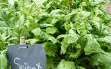Spinat im Gemüsebeet